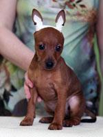Питомник доберманов и цвергпинчеров Santa Julf, щенки добермана, щенки цвергпинчера
